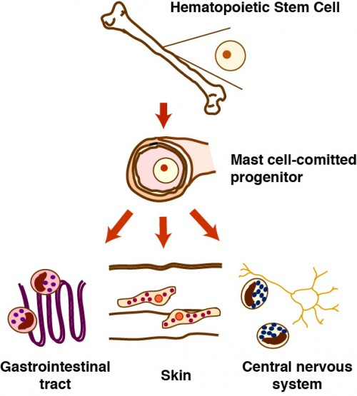 Differentiation of Mast Cells